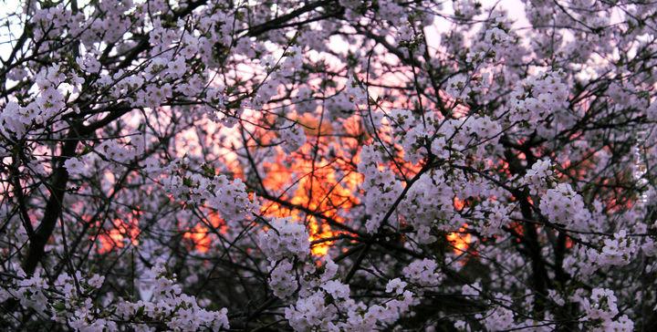 Słońce zachodzi Hanami odchodzi