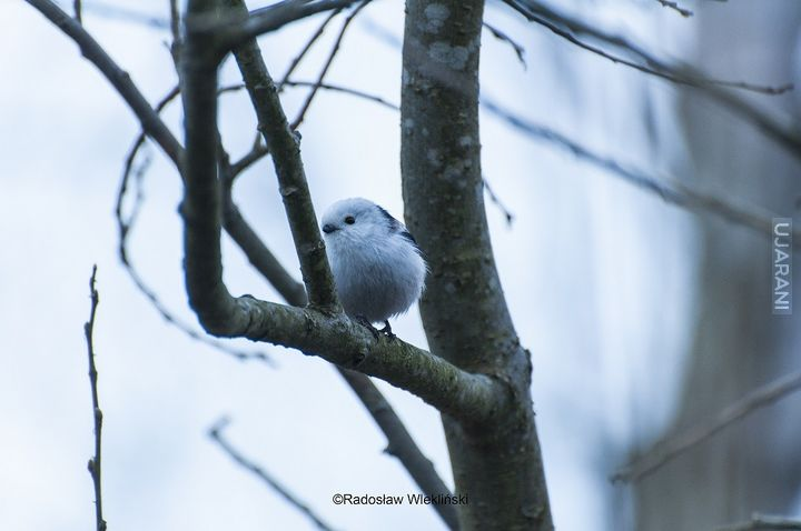Raniuszek | Long-tailed tit :)