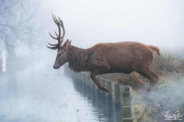 King Deer