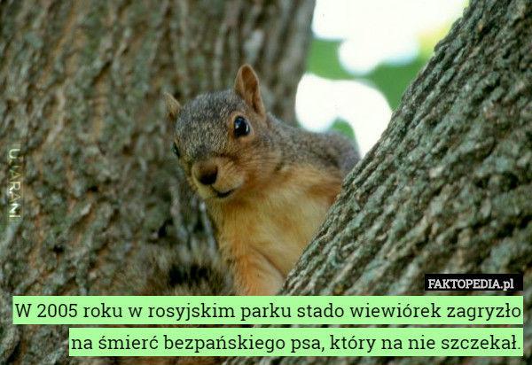 Rosyjskie wiewiórki - bez pierdolenia się