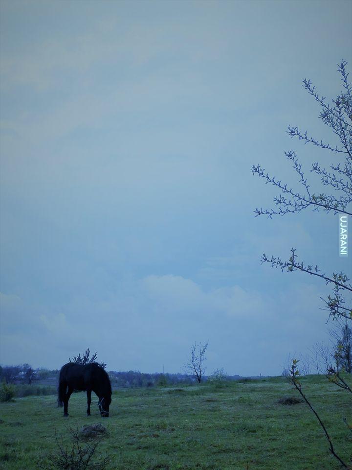 koń szamiący trawę 2