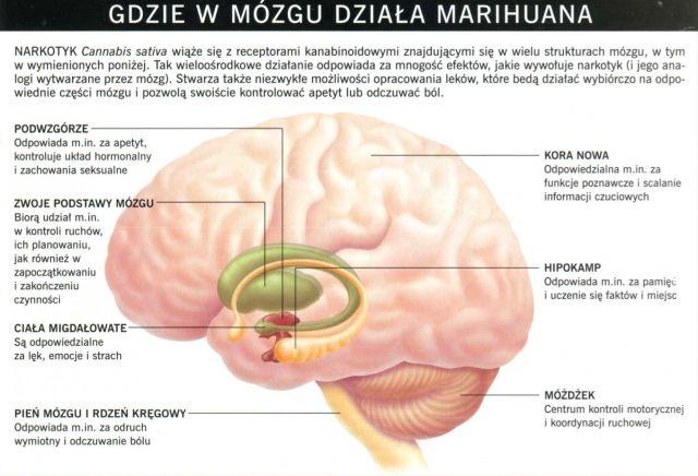 Gdzie w mózgu działa marichuana
