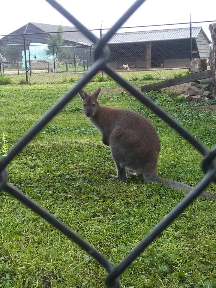 Kangurek z sąsiedztwa.