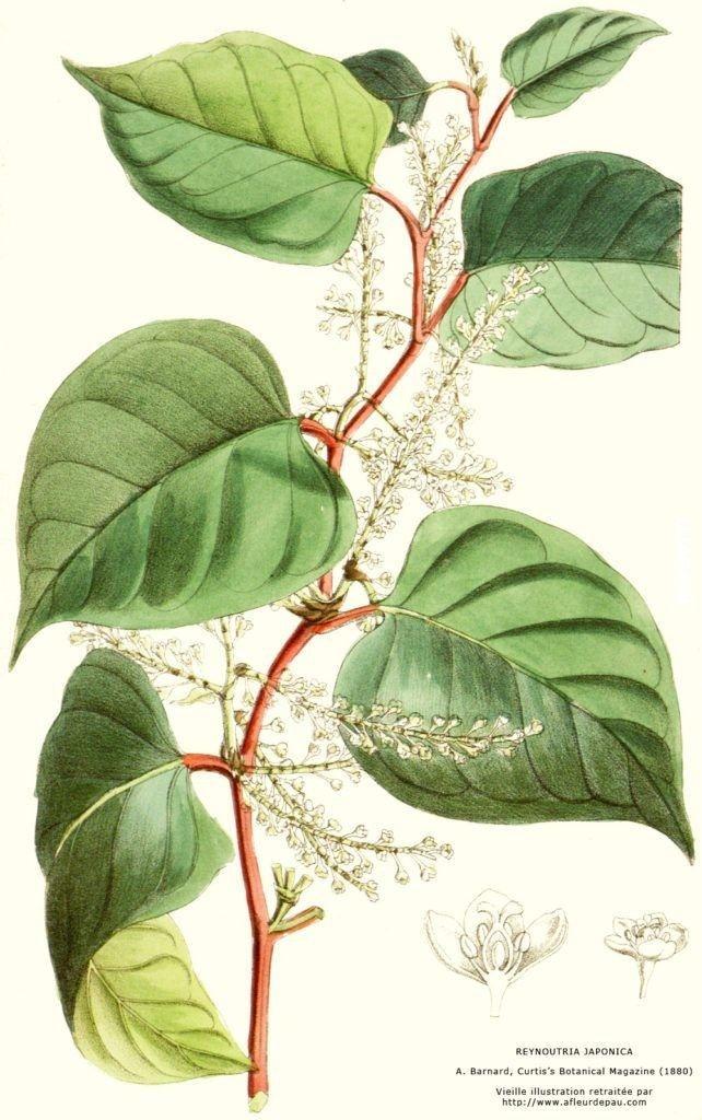 Rdestowiec ostrokończysty (Reynoutria japonica)