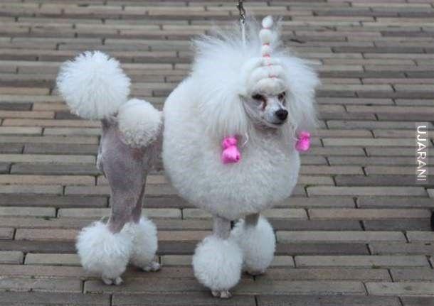 Przychodzi świnia do fryzjera a fryzjer. -No to co, golonko?