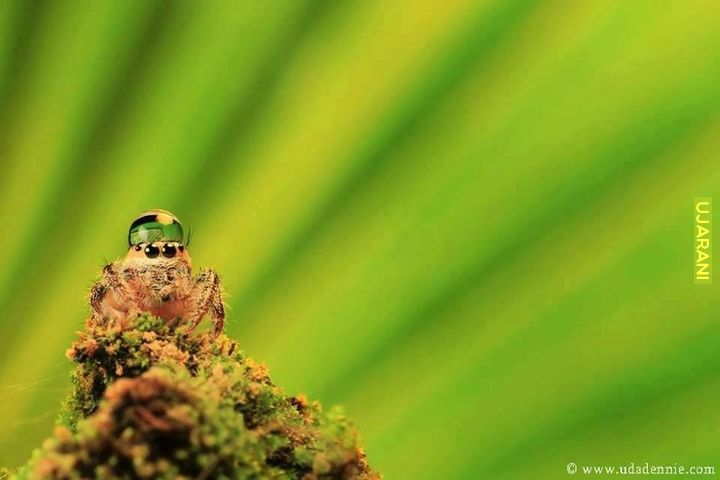Kiedy jesteś smutny/a, pamiętaj że pająki skoczki czasami noszą czapeczki z kropelek wody.