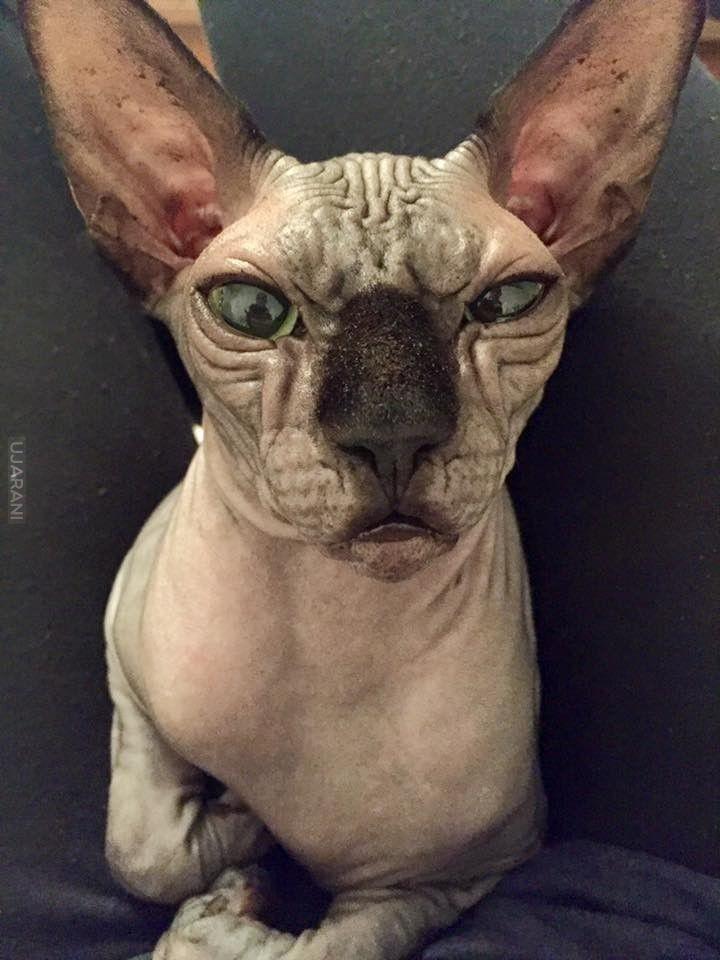 Gin Bad Cat