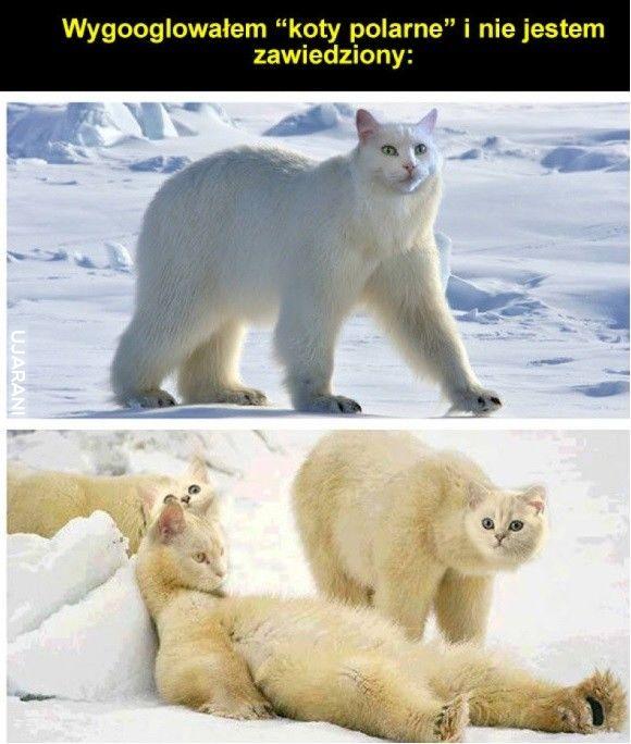 Koty polarne