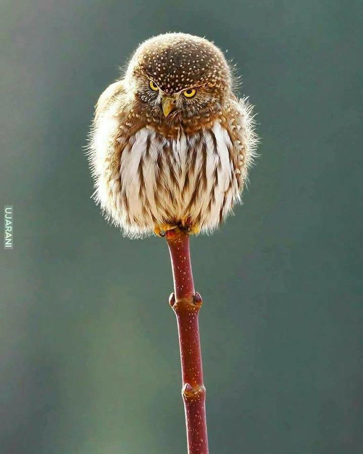 Północna sowa karłowata