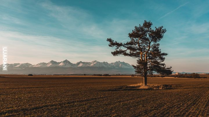 Samotne drzewo na tle Tatr