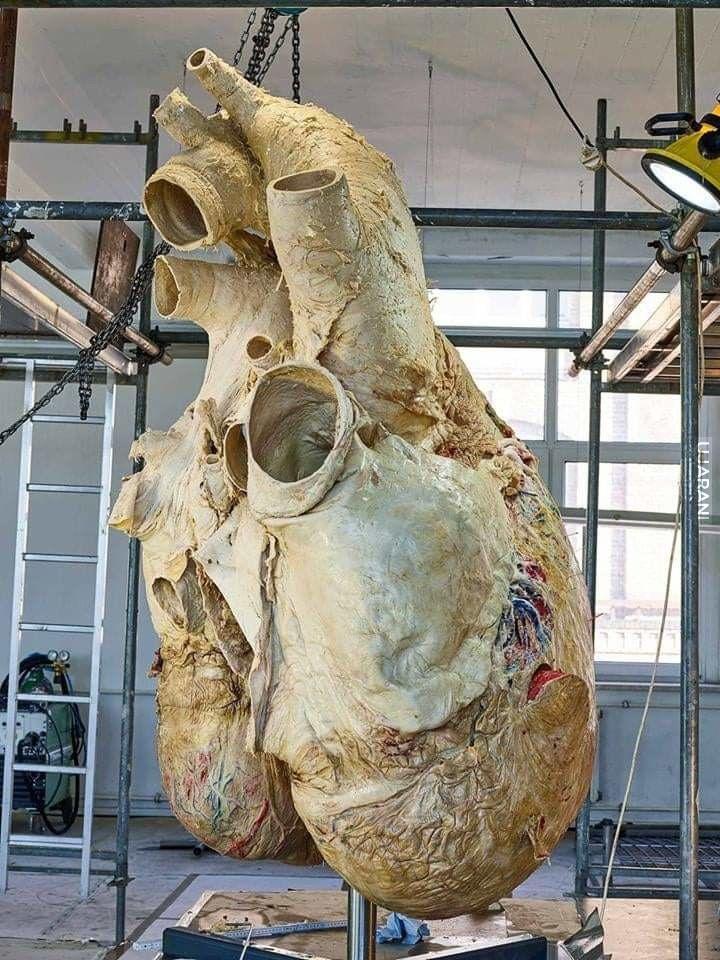 Serce płetwala błękitnego