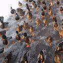 Marsz kaczek