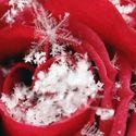 Tę różę zdobią płatki śniegu