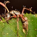 Zabójczy grzyb Cordyceps