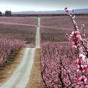 kwitnące pole