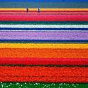 Pola tulipanów, Holandia.