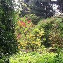 Azalie i lilaki w Arboretum Kórnickim