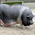 świnka ;)