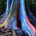 ** Niesamowite kolory drzewa - Tęczowy eukaliptus **