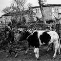 Dwie krowy mech.