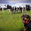 Pierwszy raz widzi krowy