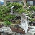 150 letnie Bonsai