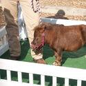 Calineczka - najmniejszy koń na świecie