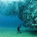 Zachowania stadne ławicy tuńczyka
