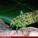 Weed Bug