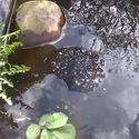 Żabi żłobek