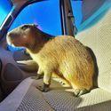 Kapibara w samochodzie