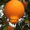 Narodziny Pomarańczy