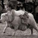 Owca..