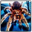 Chilean Rose Tarantula - Rossie / własne