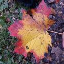 Zwykły niezwykły liść.