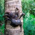 Krab kokosowy