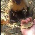 Małpka uczy człowieka zgniatać liście