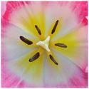 tulipanie centrum