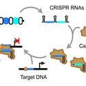 Wyłączenie konkretnych genów dzięki bakteriom