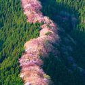 Japonia,kraj kwitnących wiśni