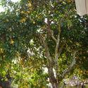 Grejfrut prosto z ogrodu