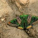 Green Mantle butterfly (Caria mantinea)