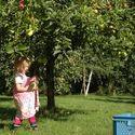 Pierwsze jabłka..