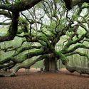 1500 letni Anielski Dąb w South Carolina, USA.