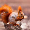 ruda wiewióra