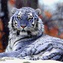 Niebieski tygrys.