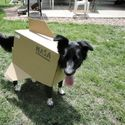 Pies wahadłowiec