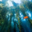 podwodny las