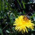 Miód to lubię, ale pszczółki p***  (*żółte na nogach to pyłek kwiatowy nie nektar)