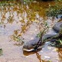 pyton vs. krokodyl
